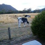 Friendly Cows at my door.