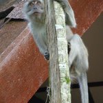 long-tailed macaques on the look out for anything to steal