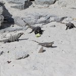 Iguanas in the open area next to hotel - kids loved feeding them