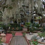 Lots of spanish moss draping our 200 year old Live Oak Trees