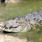 Meet George, Belize's largest rescued American crocodile