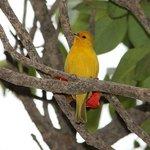 Saffron Finch in the Garden