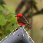 Vermilion Flycatcher in the Garden