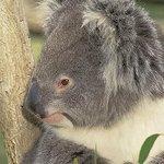 Koala's in the wild