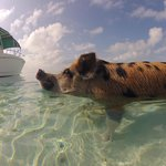 Famous Swimming Pigs in Staniel Cay