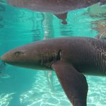 Swimming with the nurse sharks at Compass Cay