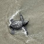 Endangered Green Turtle baby's first swim-its survival aided by Katya