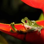 Red-eyed Tree Frog in a Heliconia blossom