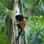 Saddle-backed Tamarind