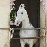 One of the resident Marwari horses