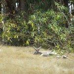 A sleepy kangaroo