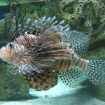 Lionhead Fish. So pretty.