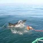 Great White Shark Cage Diving, Cape Town