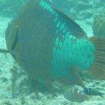 Huge parrot fish