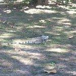 Un petit iguane Inoffensif