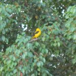 golden oriel right outside our room.