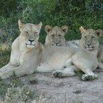 Eine zufriedene Löwenfamilie