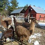 John with Llamas, goats, and donkey