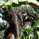 Der Baum (Pochote Grande)