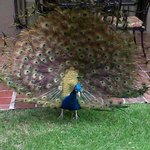 Peacock in the courtyard.