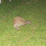 Kiwi on Stewart island