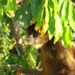 howler monkey seen on boat tour of islands in Lake Nicaragua