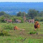 Lions at Kruger