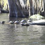 Turtles in a row.