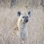 Hyena on morning game drive