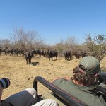 Mingling with African Buffalo