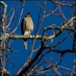 Cooper's Hawk in the Trees on One of Our Walks