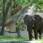 an elephant is testing our swimming pool