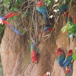 Macaws on the clay lick