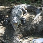 Crocodile in Rudys garden, part of our Stand up paddle board tour in La Boca
