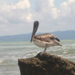 Pelican with great backdrop