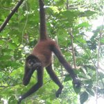 Spider monkey (I think)