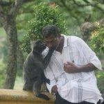 Kissing Silver Leaf Monkey