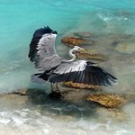 A grey heron catching fish in cocoa island