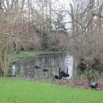 Black swans on the pond in the gardens