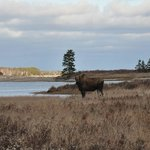A Big moose by Church Pond!