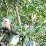 A capuchin at the nearby Manuel Antonio National Park