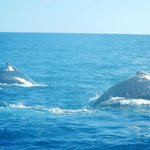 Humpback whales spotted during a charter fishing outing!