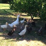 A family of nosey and noisy geese who were very very cute