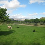 Picture of some of the farm animals and vineyards around the property.