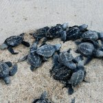 23 sea turtles were hatched the night we were there