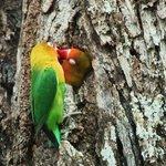 Resident lovebirds