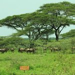 Wildebeest and zebras greeted us upon our arrival