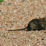 Resident ground mouse