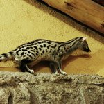 A genet frequently seen in the dining room (related to a mongoose)
