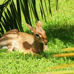 One of Arumeru's resident dik diks